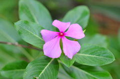 Periwinkle flower Stock Photography