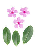 periwinkle flower and green leaf Royalty Free Stock Image