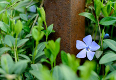 Periwinkle Flower Growing in the Garden Royalty Free Stock Images