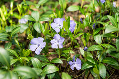 Periwinkle flower growing Stock Images