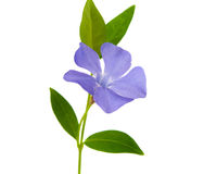 Periwinkle flower isolated Royalty Free Stock Photography