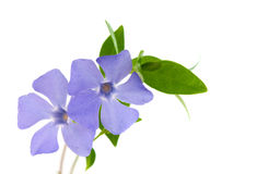 Periwinkle flower isolated Royalty Free Stock Photo