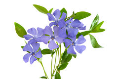 Periwinkle flower isolated Stock Images