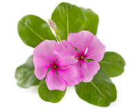 Periwinkle flower isolated over white Stock Photos