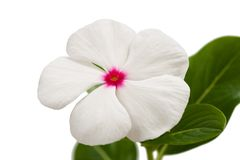 Periwinkle. Flower isolated on white Stock Image
