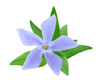 Periwinkle Royalty Free Stock Images