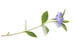 Periwinkle flower Stock Images