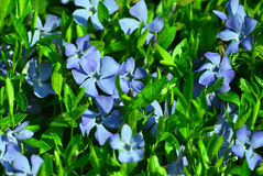 Periwinkle flower Royalty Free Stock Photos