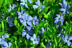 Periwinkle flower. Macro wildflower botany Royalty Free Stock Photos