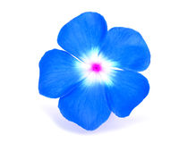 Periwinkle Flower Stock Photos