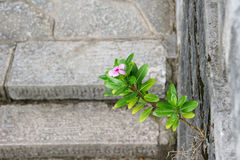 Periwinkle flower. The periwinkle(Scientific name: Catharanthus roseus) grows in crack of stone wall Royalty Free Stock Photography