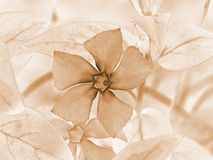 PERIWINKLE FLOWER IN SEPIA. Periwinkle flower in light sepia color Stock Photos