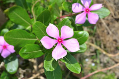 Periwinkle. Flower of periwinkle, species name Catharanthus roseus, commonly known as the Madagascar periwinkle, rosy periwinkle or teresita Royalty Free Stock Images