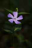 Periwinkle flower. In the undergrowth of an Italian forest Stock Photos