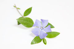 Periwinkle flower on white background Royalty Free Stock Photo
