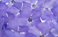 Periwinkle flower. On a white background Stock Image
