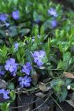 Periwinkle flowering Stock Photos