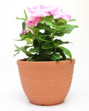 Periwinkle in a flowerpot Royalty Free Stock Photo
