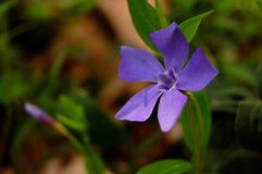 Periwinkle flowers. Flowers periwinkle. A bright sunny day, spring Stock Image