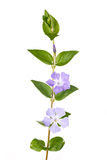 Periwinkle flowers. Periwinkle stem with leaves and flowers isolated on white Royalty Free Stock Image