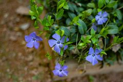 Periwinkle flowers also known as bigleaf periwinkle, large periwinkle, greater periwinkle or Vinca major. Vinca minor lesser periwinkle flowering ornamental stock images