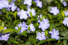 Periwinkle  flowers background spring time. Image stock photography