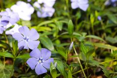 Periwinkle  flowers background spring time. Image royalty free stock images
