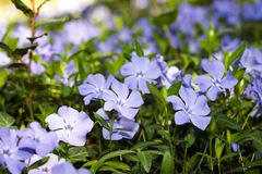 Periwinkle  flowers background spring time. Image royalty free stock photos