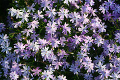 Periwinkle Flowers Royalty Free Stock Images