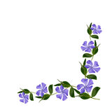 Periwinkle flowers line in a corner Stock Image