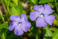 Periwinkle flowers Stock Images