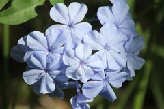 Periwinkle flowers. Wild florida lavender periwinkle flowers in sunlight Stock Photography