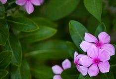 Periwinkle garden Stock Image