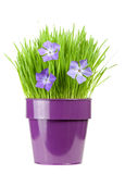 Periwinkle and grass. Fresh grass and periwinkle in metallic flower pot Stock Photography