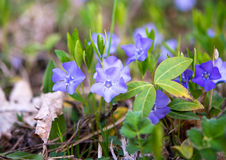 Periwinkle growing Stock Image