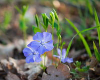 Periwinkle growing Royalty Free Stock Photos