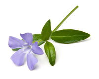 Periwinkle Isolated Stock Photos