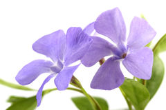 Periwinkle isolated on white Stock Photography