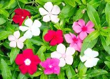 Periwinkle or madagascar flowers Stock Photo