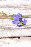 Periwinkle on old wood background Royalty Free Stock Image