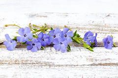 Periwinkle on old wood background. Blue periwinkle on old wood background Stock Images