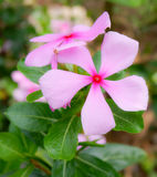 Periwinkle. Pink Flower of adagascar Periwinkle Royalty Free Stock Photo