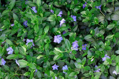 Periwinkle plant with green leaves Stock Images