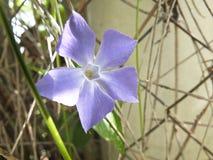Periwinkle purple flower Stock Image