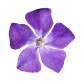 Periwinkle purple flower - Vinca minor. Top View of Periwinkle purple flower - Vinca minor - isolated on White Background Stock Images