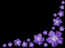 Periwinkle purple flowers - Vinca minor - isolated. Group of Periwinkle purple flowers - Vinca minor - isolated on Black Background Stock Image