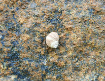 Periwinkle On Rock Stock Photography