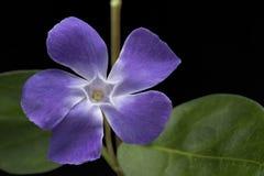 Periwinkle spring flower vinca major Stock Photos