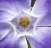 Periwinkle spring flower vinca major Stock Image