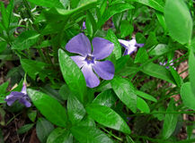 Periwinkle Royalty Free Stock Photo